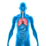 longen Royalty-vrije Stock Afbeelding