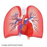 Longen en de menselijke anatomie van de hartillustratie stock illustratie