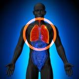 Longen - Mannelijke anatomie van menselijke organen - x-ray mening stock illustratie