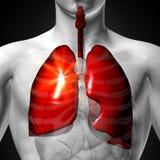 Longen - Mannelijke anatomie van menselijke organen - x-ray mening royalty-vrije illustratie