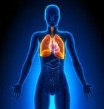 Longen - Vrouwelijke Organen - Menselijke Anatomie vector illustratie