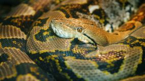 The longest snake in the world - Asia`s giant Reticulated Python. Quietly asleep, curled into a ring stock photography
