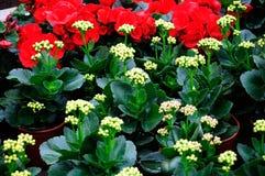 The longevity flower bud Stock Photography