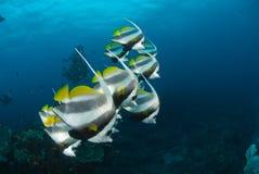Longfin横幅在形成的鱼游泳 免版税库存图片