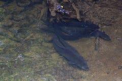 Longfin ålar i sötvatten arkivfoton
