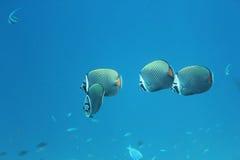 longfin Мальдивы bannerfish Стоковая Фотография RF
