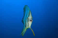 Longfin蝙蝠鱼 图库摄影