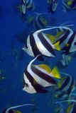 Longfin bannerfish Royalty Free Stock Photo