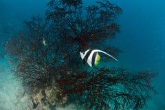Longfin bannerfish Zdjęcia Royalty Free