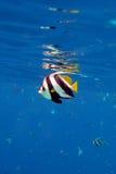 Longfin Bannerfish stock afbeeldingen