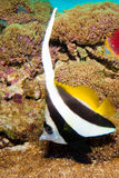Longfin Bannerfish in Aquarium Stock Photo