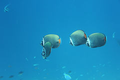 Longfin Bannerfish, de Maldiven royalty-vrije stock fotografie