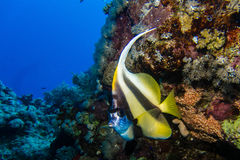 Longfin bannerfish in egypt Stock Image