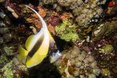Longfin bannerfish in egypt Royalty Free Stock Image