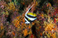 Longfin bannerfish Heniochus acuminatus hovering near the rock. More soft coral background yellow color,Andaman Sea , Thailand Stock Images