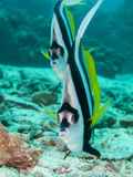 Longfin bannerfish looking. Two long fin banner fish look at the camera Stock Image