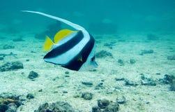 Longfin bannerfish nad piaskiem Zdjęcia Stock