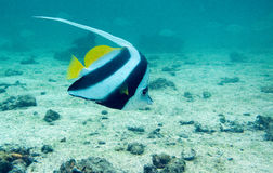 Longfin bannerfish over sand. A long fin banner fish swims over the sand Stock Photos