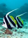 Longfin bannerfish pływanie obok Fotografia Stock