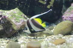Longfin bannerfish Stock Photos