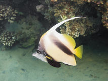 Longfin bannerfish of red sea Royalty Free Stock Photography