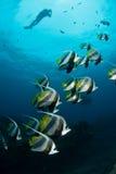 Longfin Bannerfish som förbi uppe i luften simmar med en dykare, Sodwana fjärd Arkivbilder