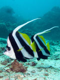 Longfin bannerfish swim by. Two banner fish swim by the camera Stock Photography