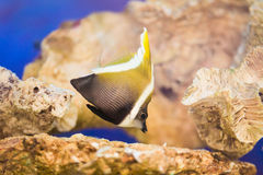 Longfin bannerfish in the tropical waters Stock Photography