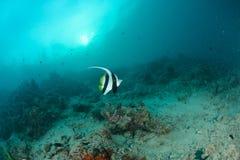 Longfin bannerfish Stock Photo