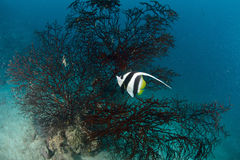 Longfin bannerfish Royalty Free Stock Photos