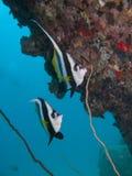 Longfin bannerfish under rock. Two longfin banner fish swim under a rock Stock Image