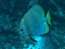 Longfin batfish Royaltyfri Fotografi