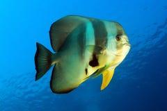 Longfin batfish Fotografia Stock