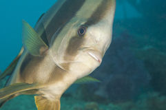 Longfin batfish on a coral reef Royalty Free Stock Photos