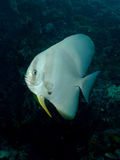 Longfin Batfish - Platax teira Arkivbilder