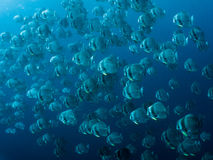 Longfin Batfish - Platax teira Arkivfoton
