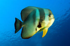 Longfin Batfish Stock Photography