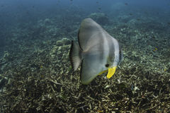 Longfin batfish (Platax teira) in Andaman Sea Stock Photo