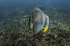 Longfin batfish (Platax teira) in Andaman Sea Stock Photo