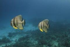 Longfin batfish (Platax teira) in Andaman Sea Stock Photos