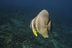 Longfin batfish (Platax teira) in Andaman Sea Stock Image