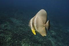 Longfin batfish (Platax teira) in Andaman Sea Stock Image
