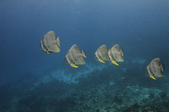 Longfin batfish (Platax teira) in Andaman Sea Royalty Free Stock Image
