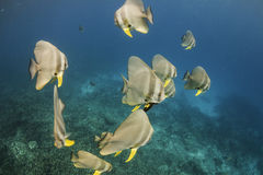 Longfin batfish (Platax teira) in Andaman Sea Stock Photos