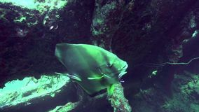 Longfin Batfish Platax teira is cleaned by cleaning fish in Red sea Egypt. Carnatic wreck stock video