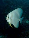 Longfin Batfish - Platax teira. Tropical Coral Reef Stock Images