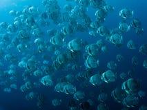 Longfin Batfish - Platax teira Stock Photos