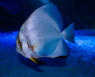 Longfin batfish Royalty Free Stock Images