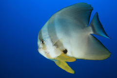 Longfin batfish Royalty Free Stock Photos