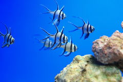 Longfin cardinalfish. The Kaudern's Cardinal, also known as the Banggai Cardinalfish or Longfin Cardinalfish, is silver highlighted by black stripes and white stock photos